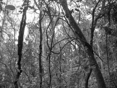 Ilustrasi Liana. Liana adalah suatu habitus tumbuhan. Suatu tumbuhan dikatakan liana apabila dalam pertumbuhannya memerlukan kaitan atau objek lain agar ia dapat bersaing mendapatkan cahaya matahari. Liana dapat pula dikatakan tumbuhan yang merambat, memanjat, atau menggantung. Contoh Liana adalah jenis-jenis rotan, anggur, serta beberapa Cucurbitaceae (suku labu-labuan).